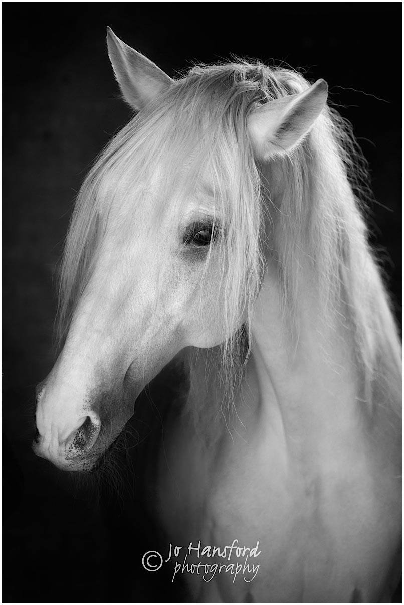 Horse photography with Sussex Lusitanos