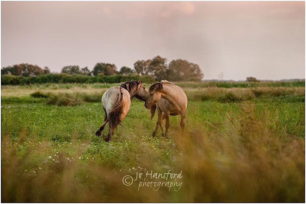 Konik poines Jo Hansford Photography