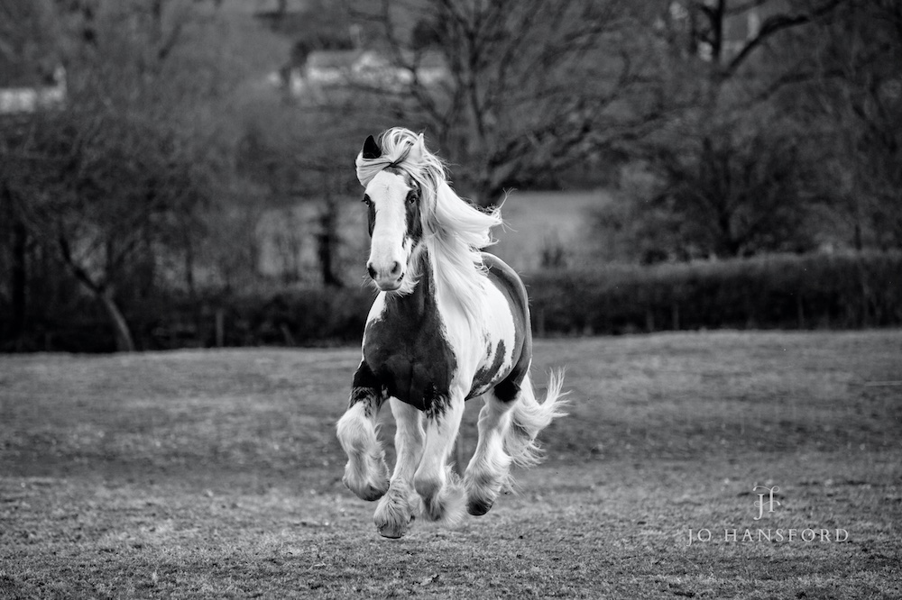 Horse photography Somerset – Thunder the Cob