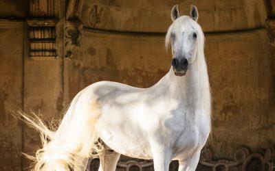 Beautiful Spanish horse 'Jamiro' photographed at Westonbirt school